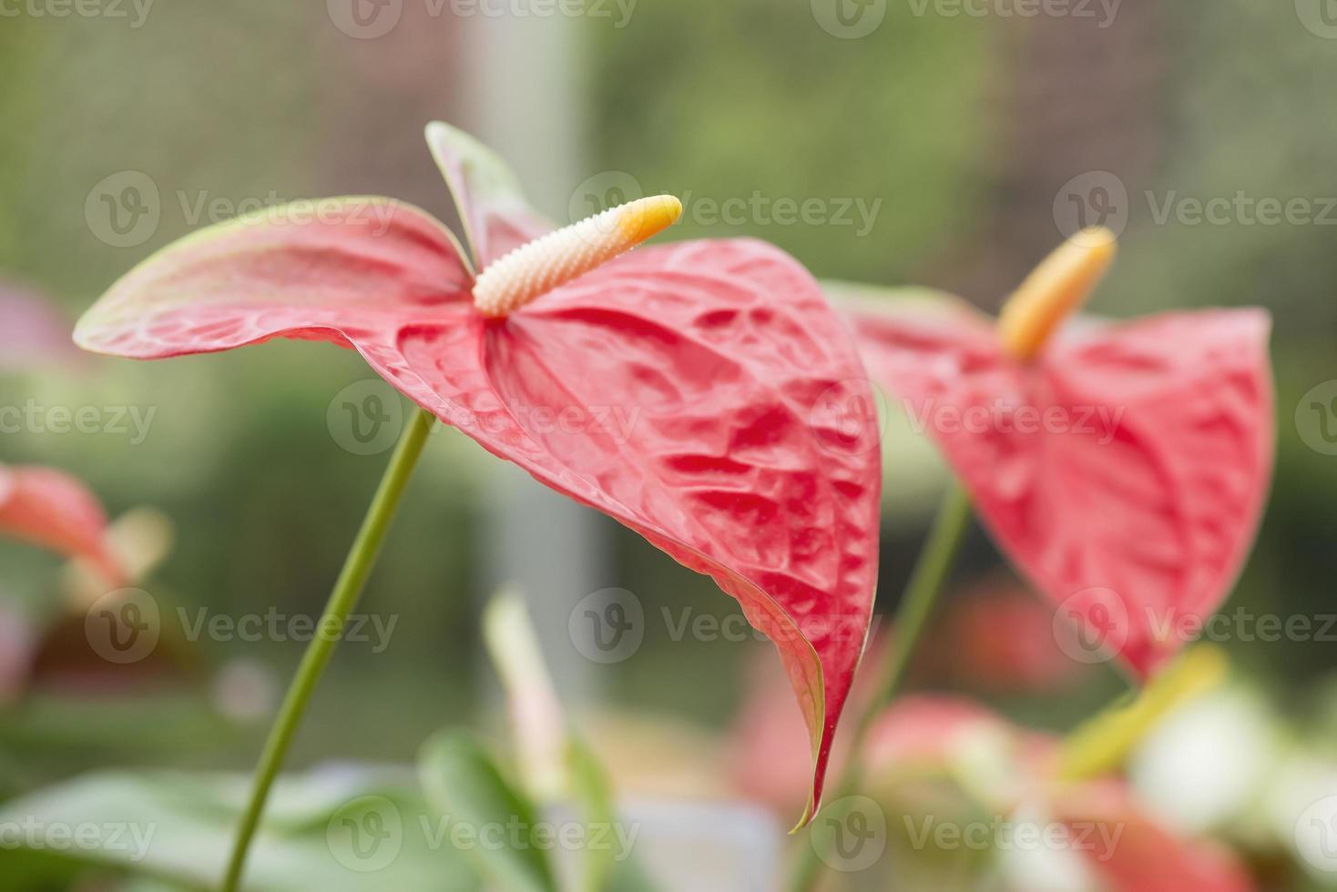 röd anthurium, flamingo blomma på nära håll. foto