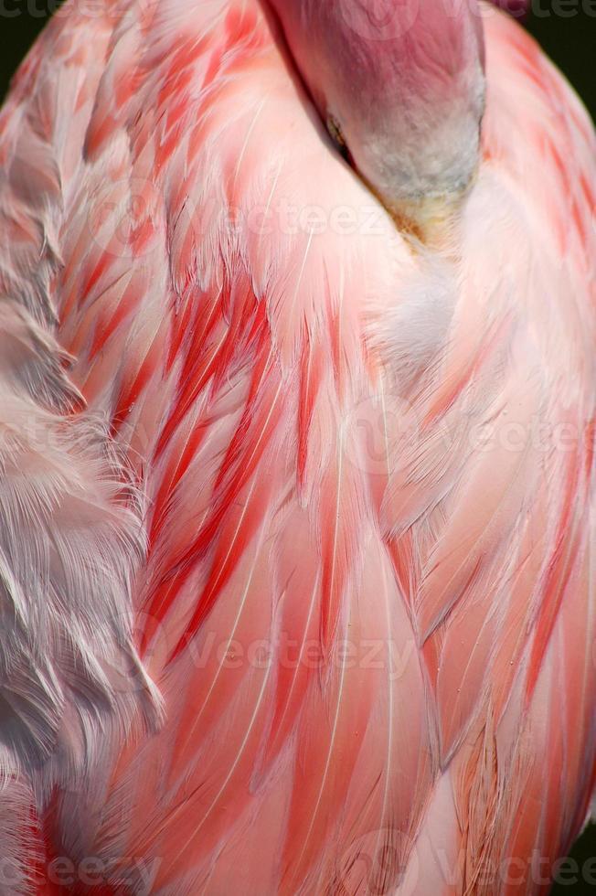 sova större flamingohuvudet undangömt under fjädrar foto