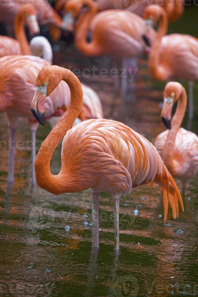 amerikanska (eller rosiga) flamingo, singapore. foto