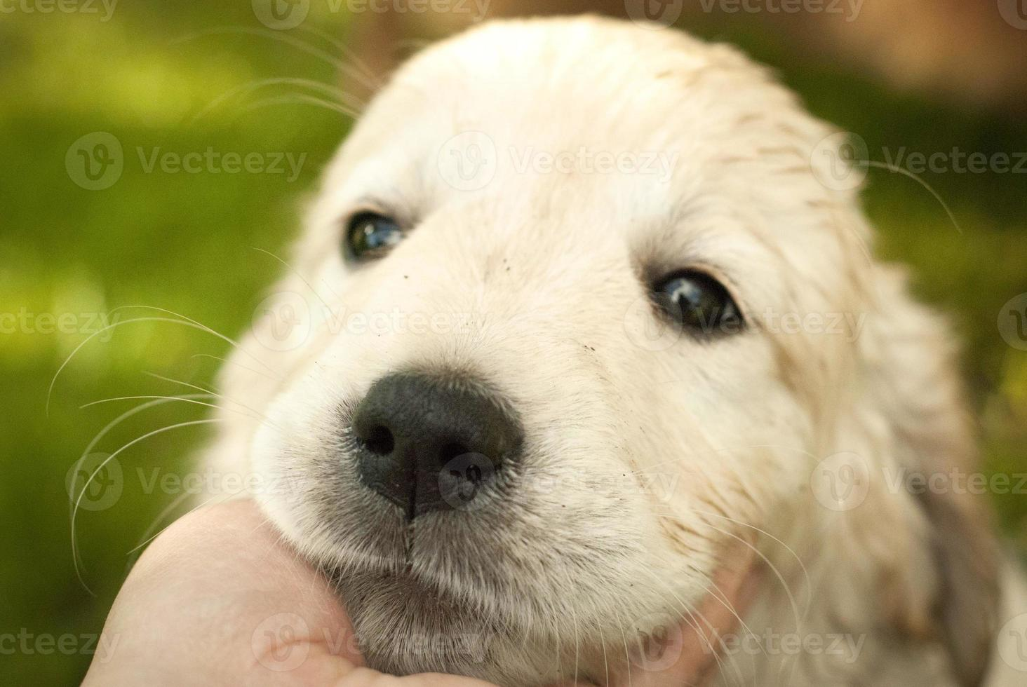 ledsen nos av valp golden retriever i en mans hand foto