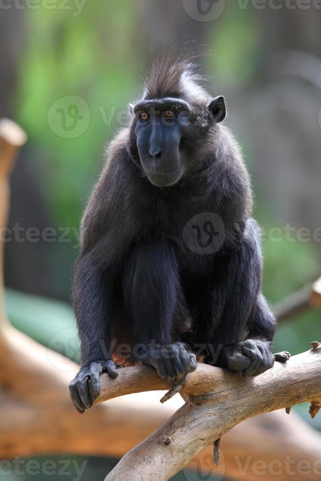 macaca nigra foto