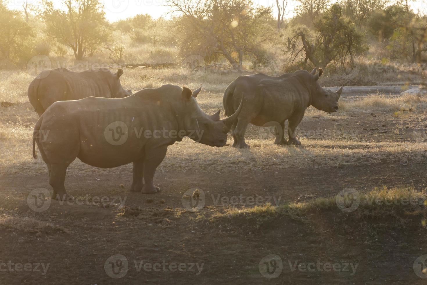 noshörning vid solnedgången foto