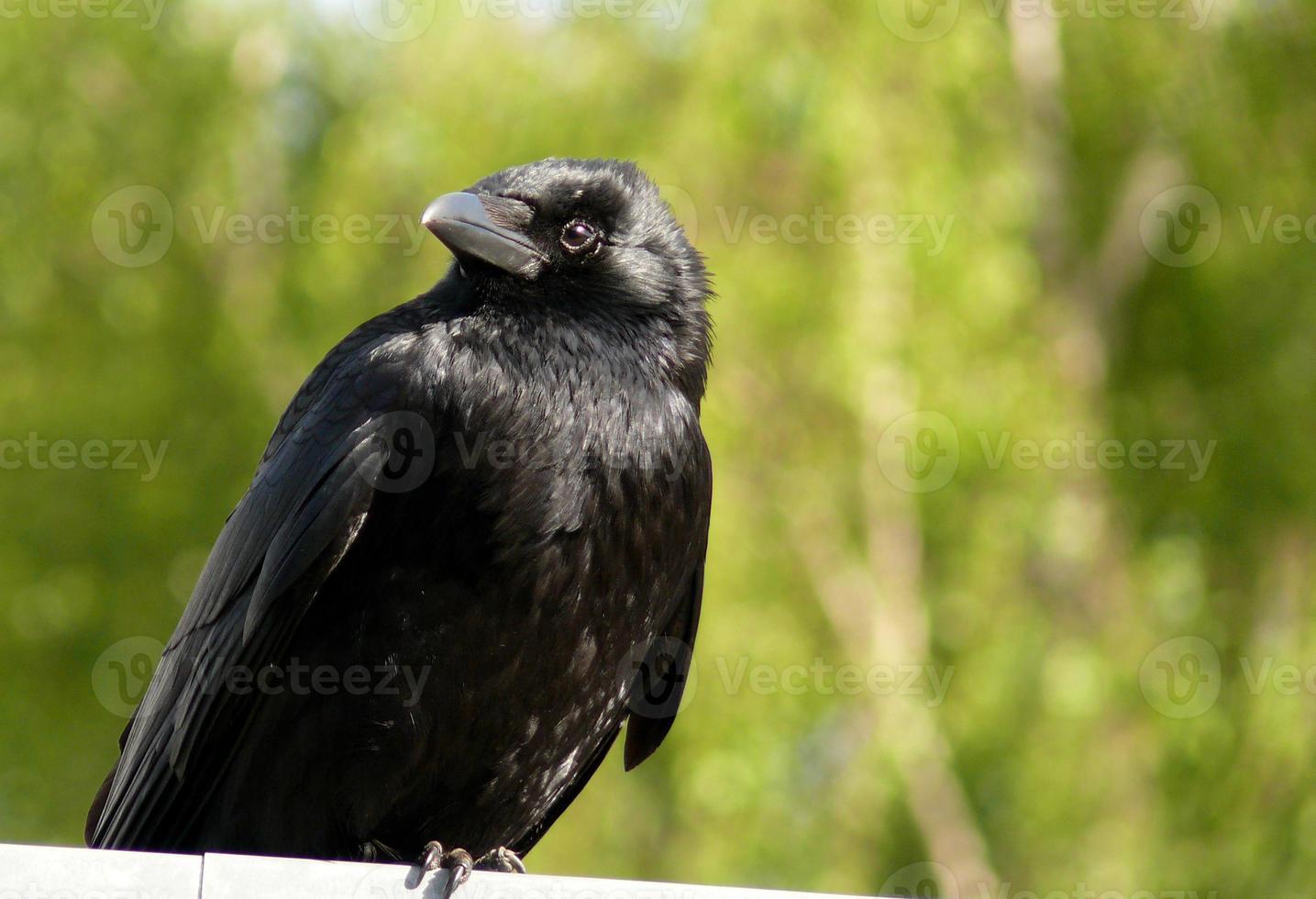 svart fågel foto