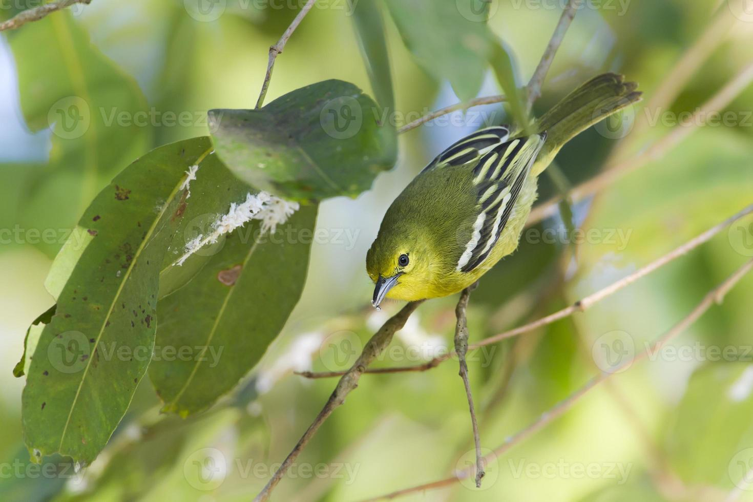 vanlig iora fågel i Nepal foto