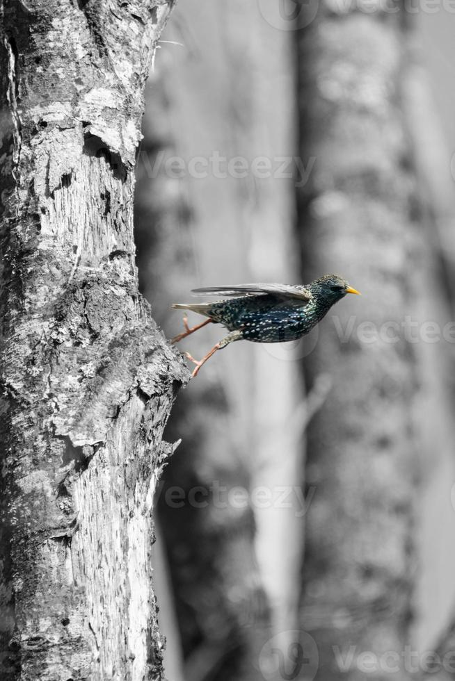 stjärnvogel foto