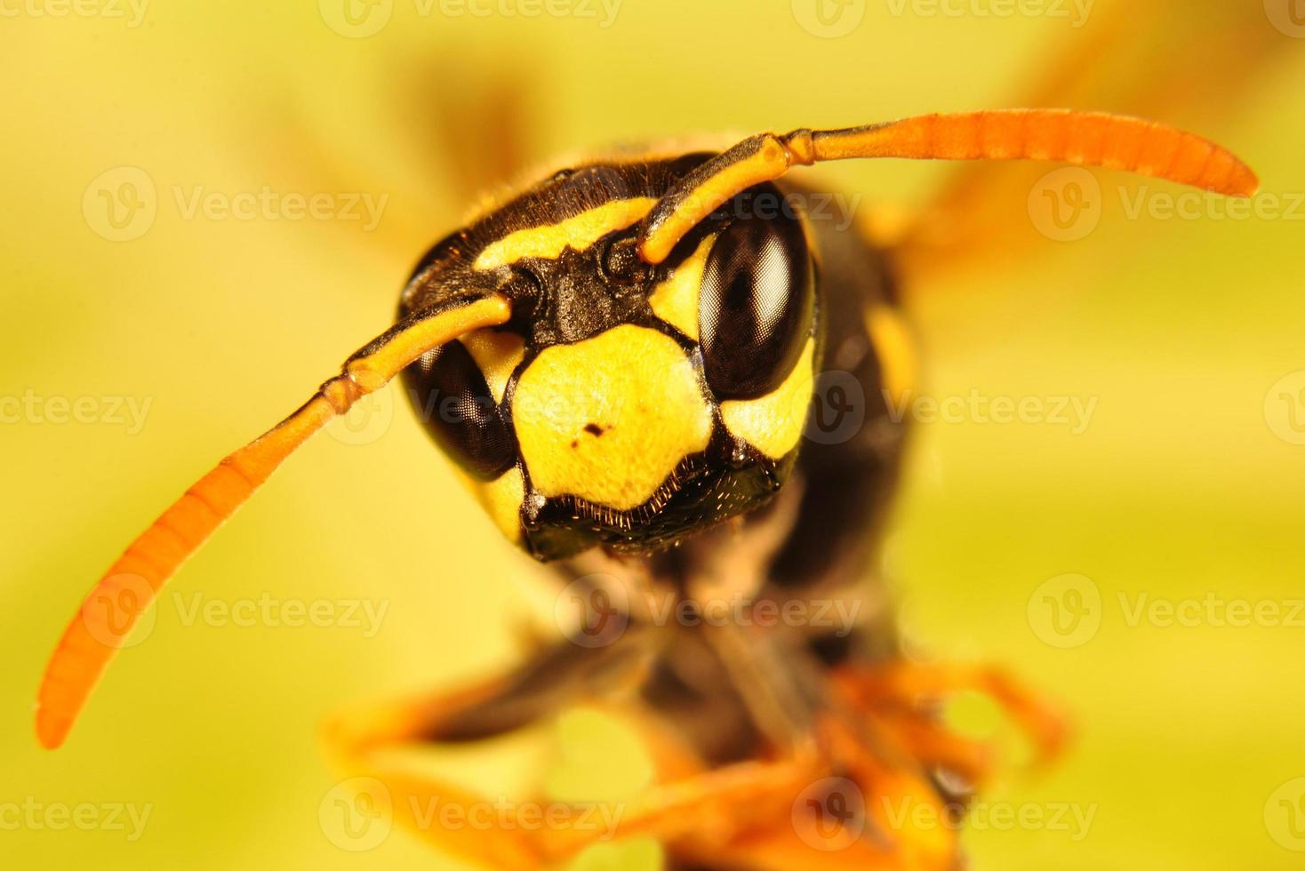 bi, hornet porträtt foto