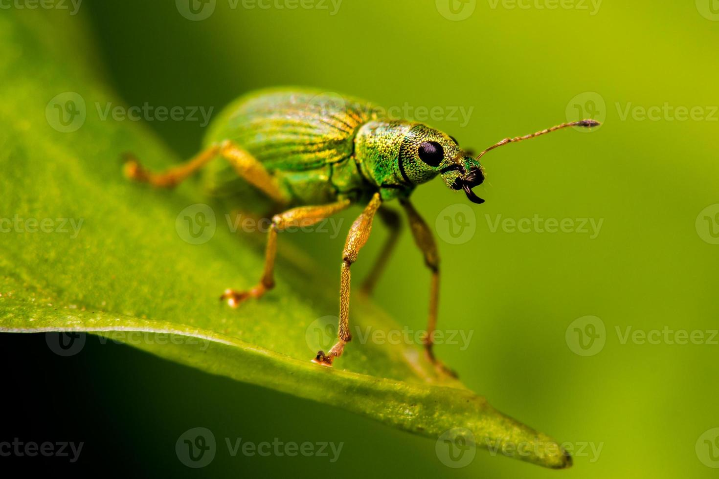 grön nässlor vivel foto