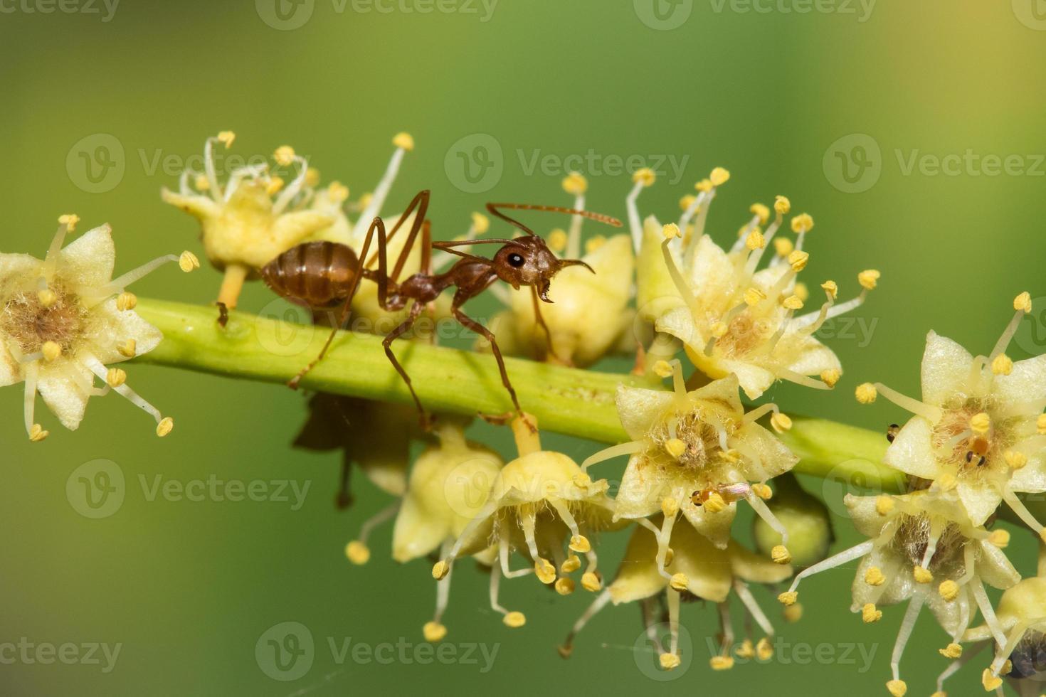 röd myra. foto