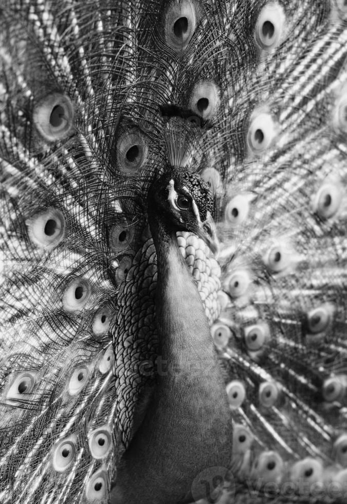 påfågel i svartvitt som visar sina fjädrar foto