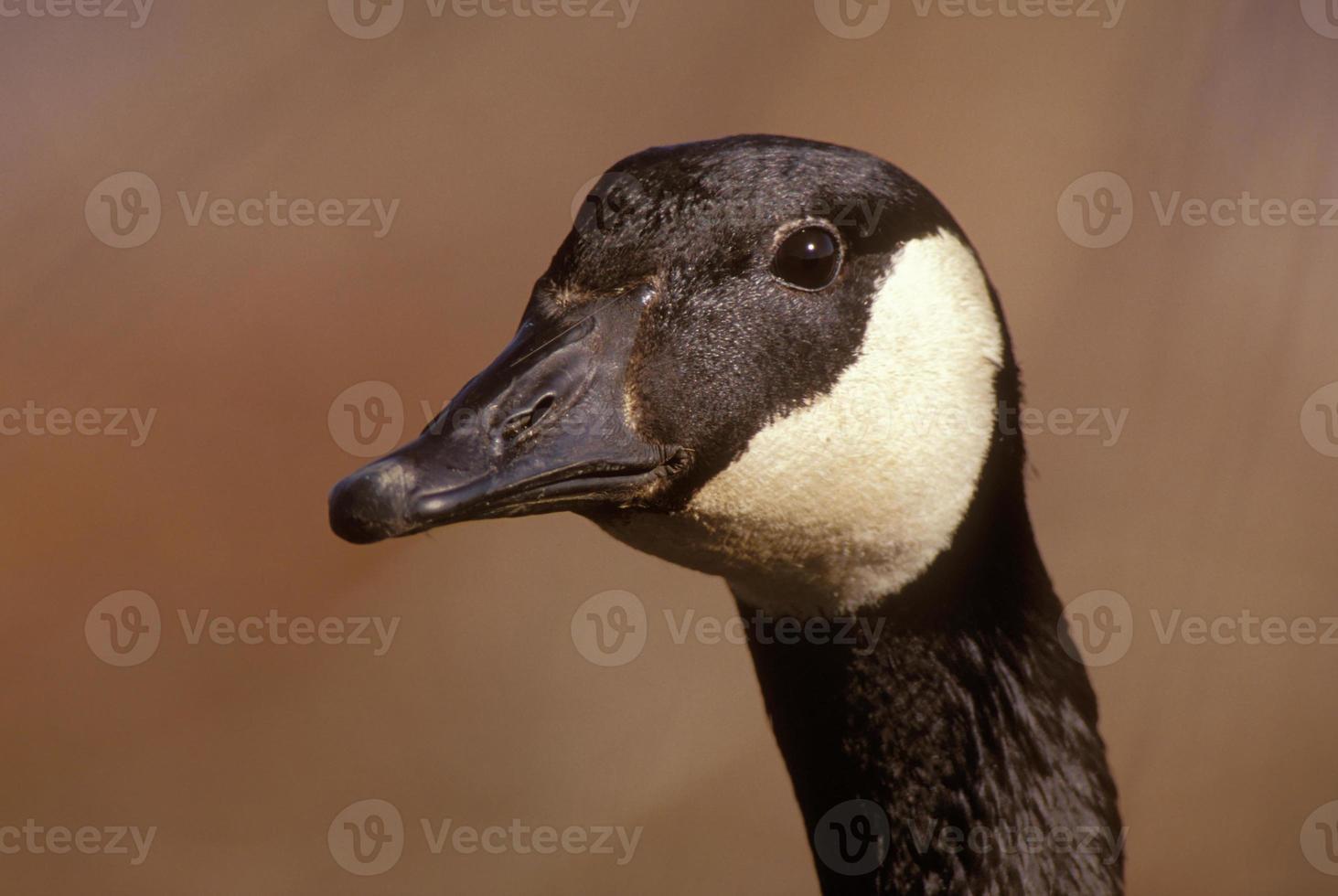 canada goose head shot foto
