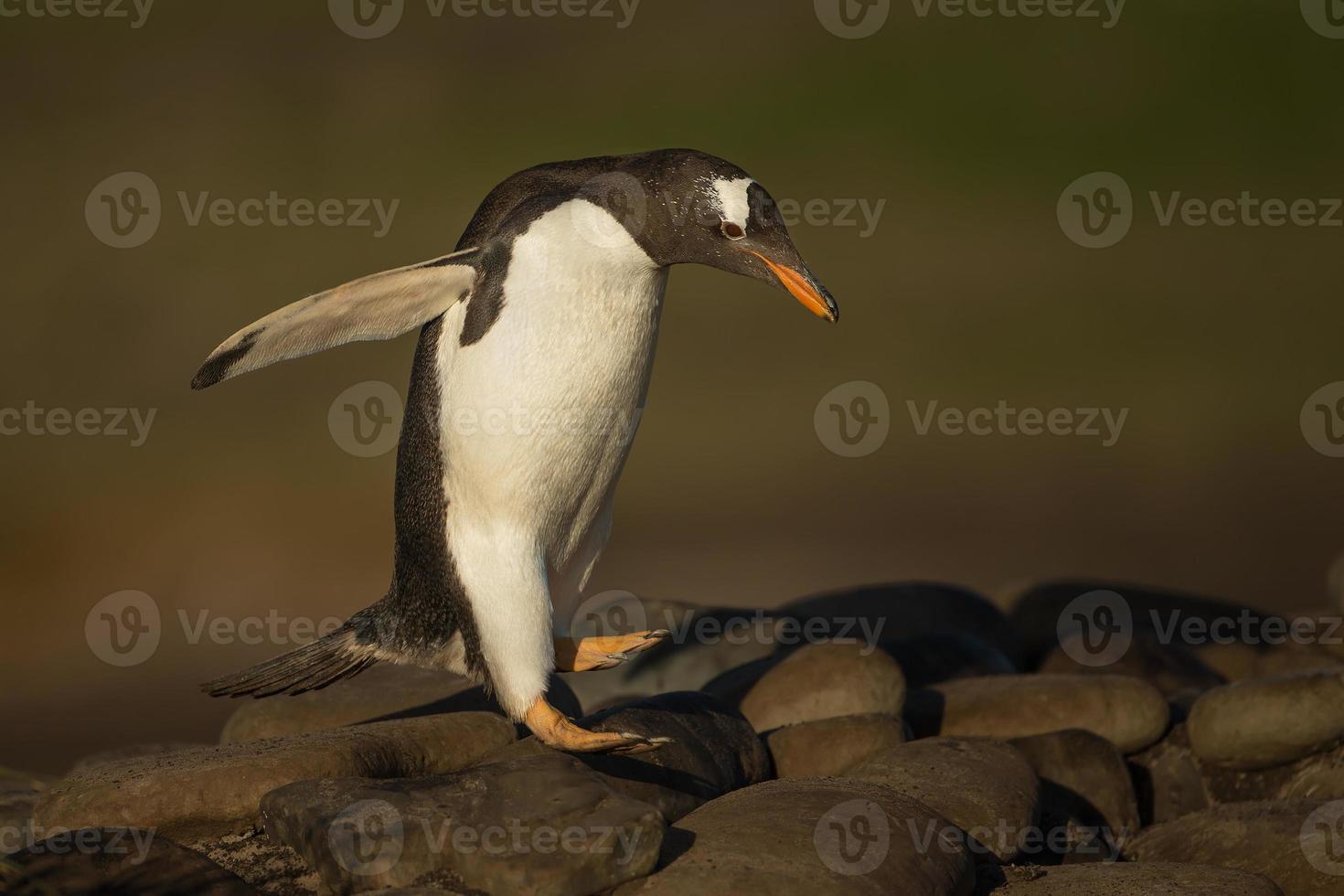 gentoo pingvin hoppar från stenar foto