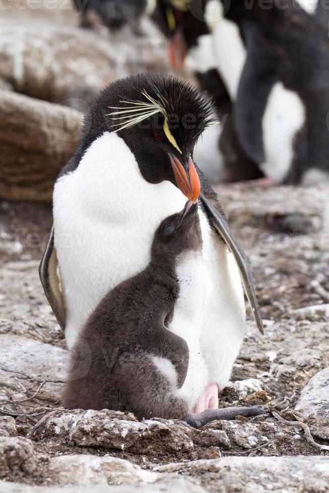 rockhopper-pingvin och hennes brud foto