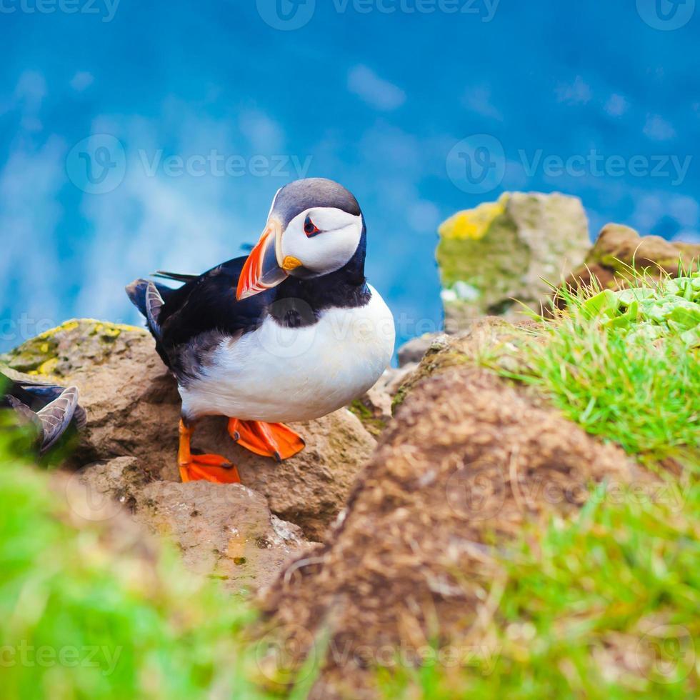 vacker livlig bild av atlantiska lunnefåglar på latrabjargs klippor foto