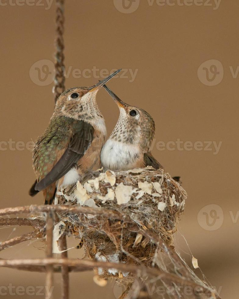 juvenila rubin halsade kolibrier foto