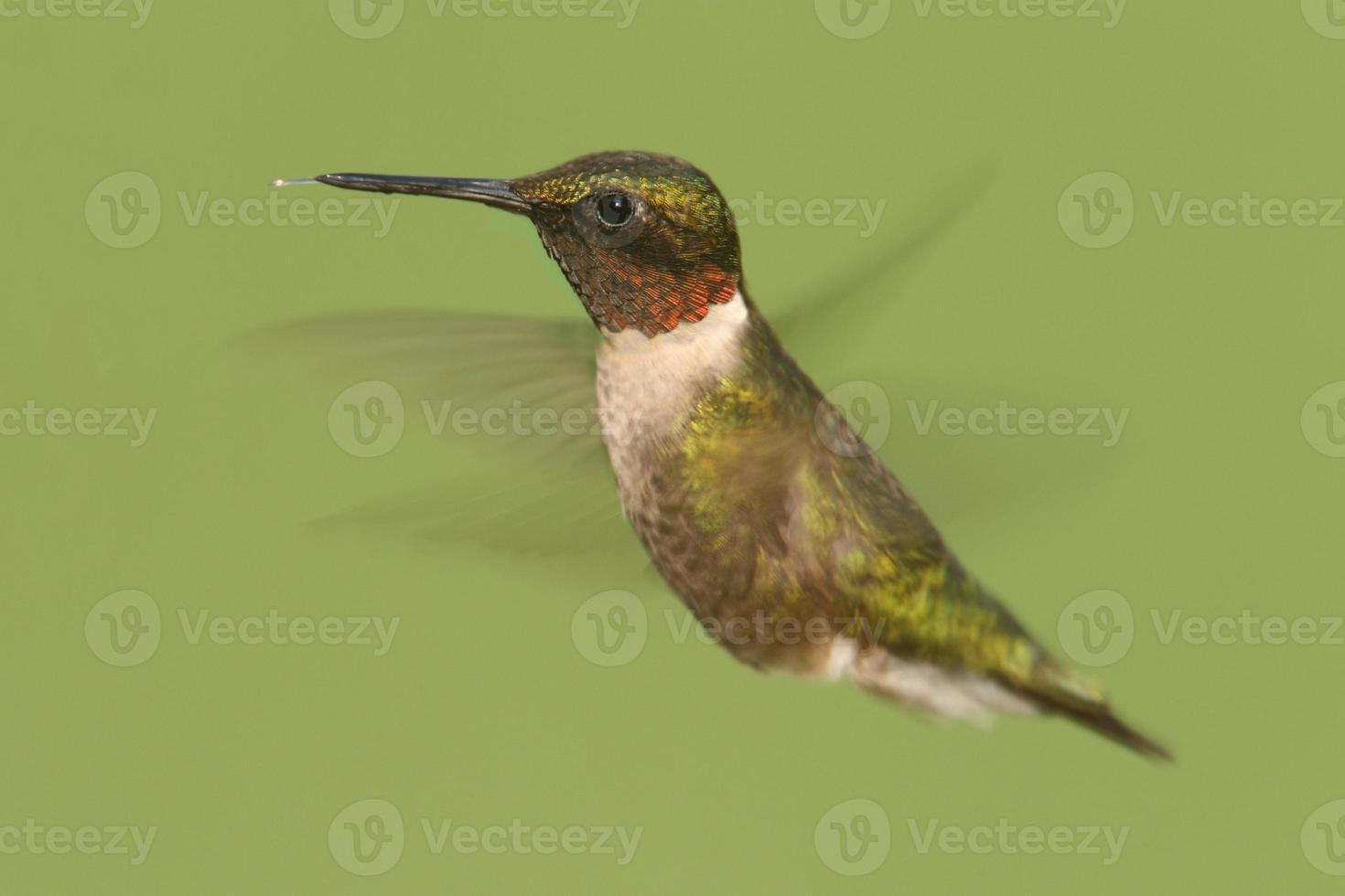 rubin-halsad kolibri (archilochus colubris) foto