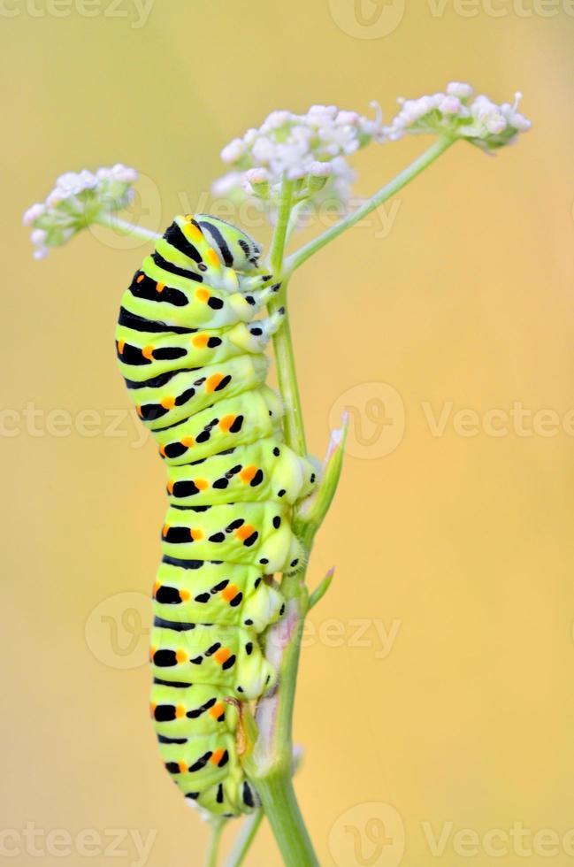 papilio machaon larv foto