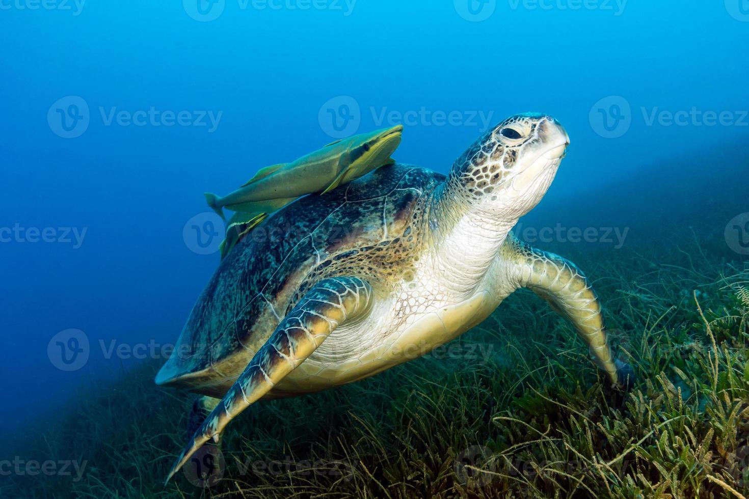 grön havssköldpadda med bifogad remora på sjögräs foto