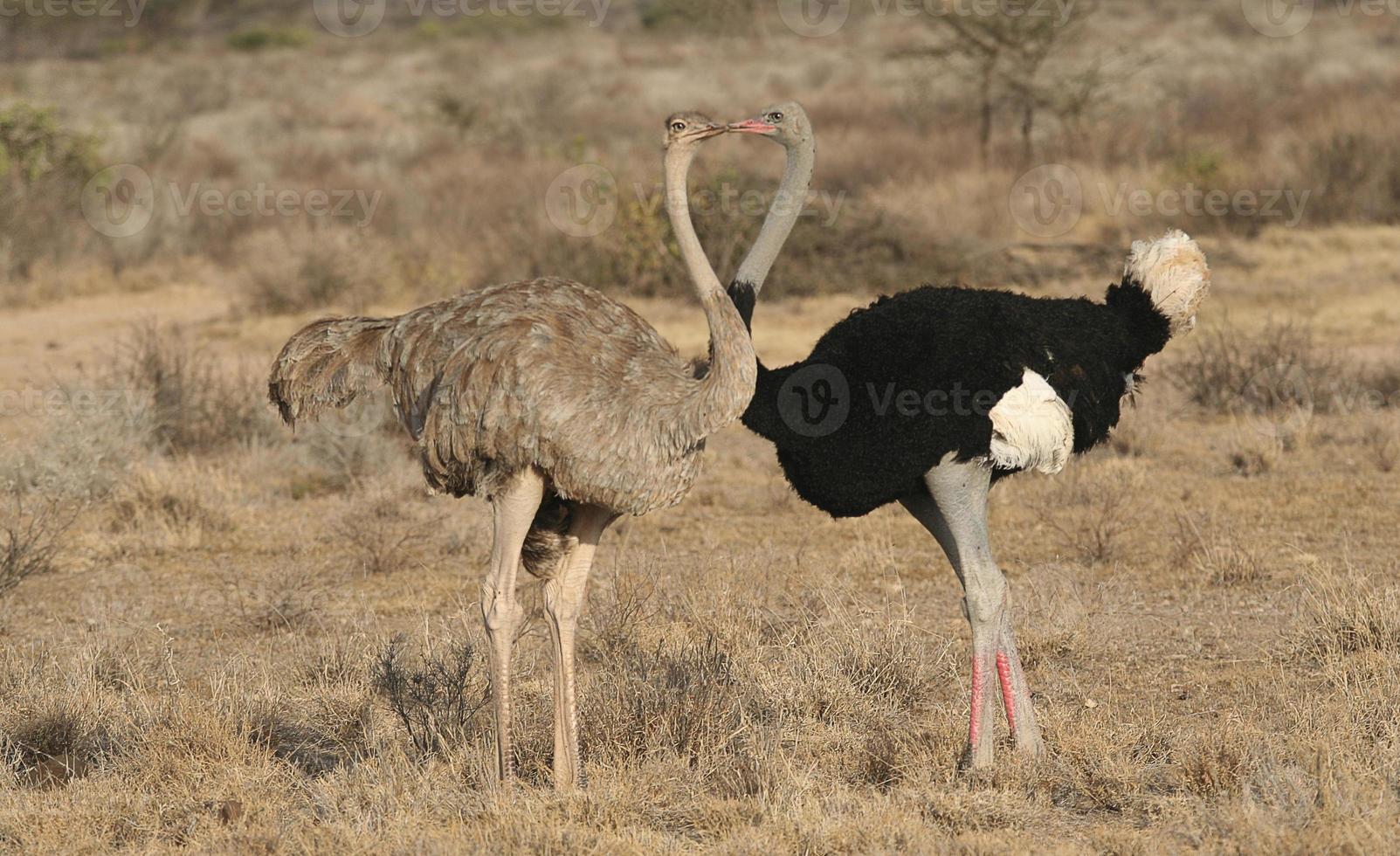 kyssande struts - somaliska struts, struthio molubdofaner, buffelfjädrar, kenya foto