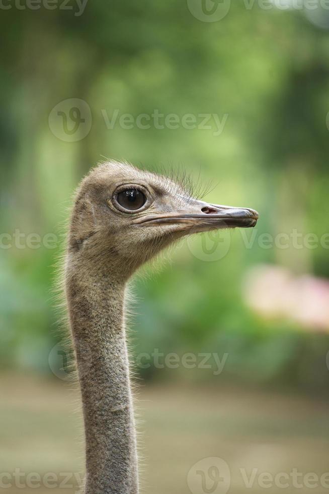 närbild camelus huvud foto