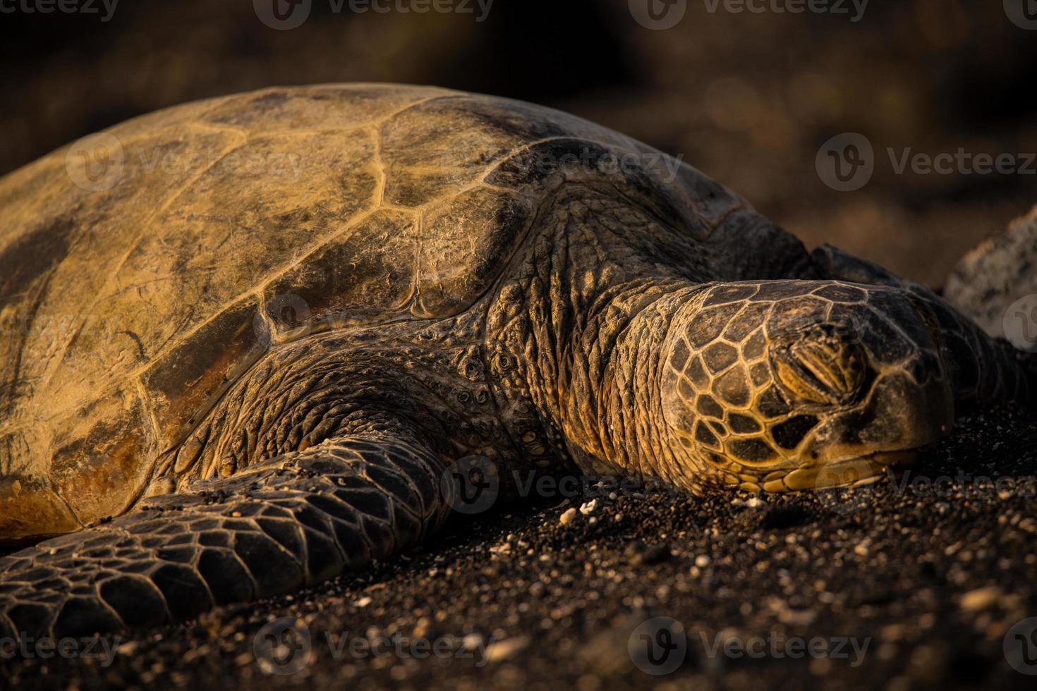 sovande havssköldpadda på svart sand foto