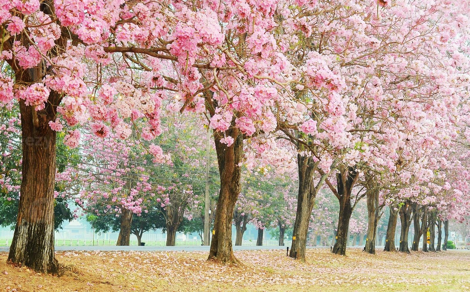 rosa trumpetträd foto