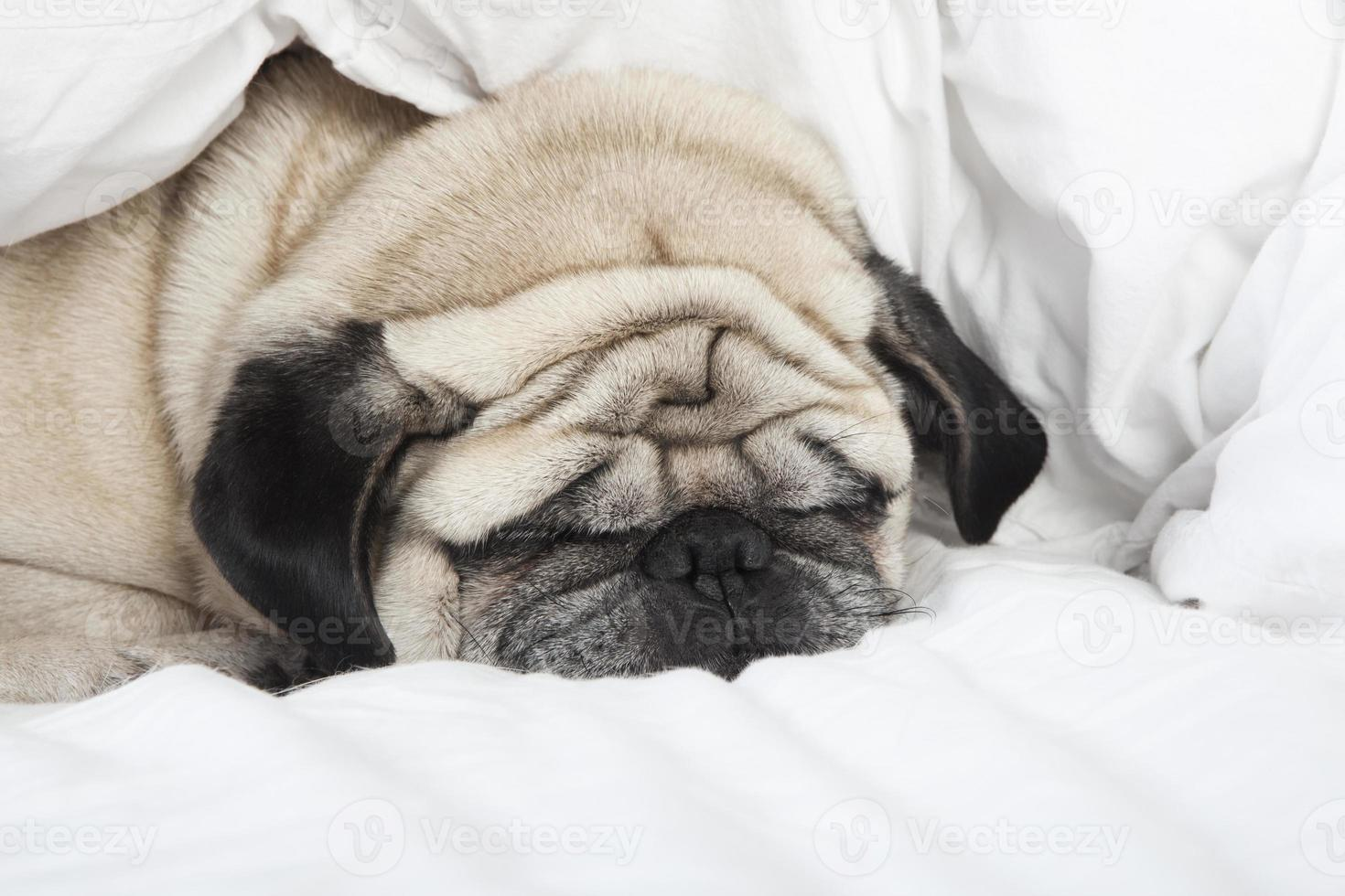 sovande mops ansikte foto