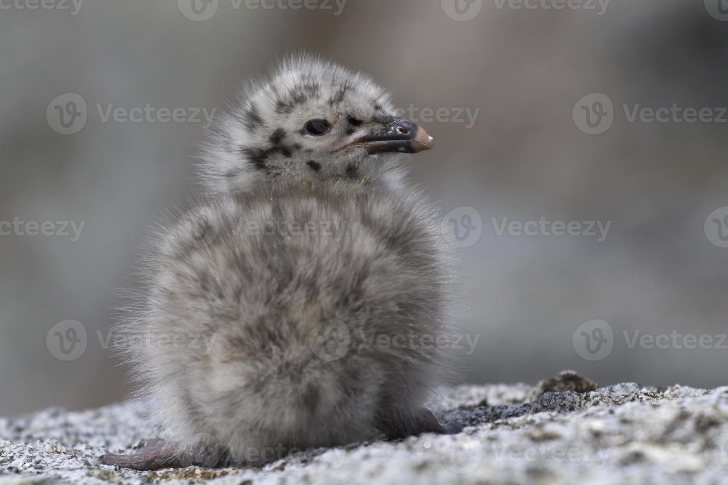 Dominikanska måsungfågel som sitter på klipporna i Antarktis foto