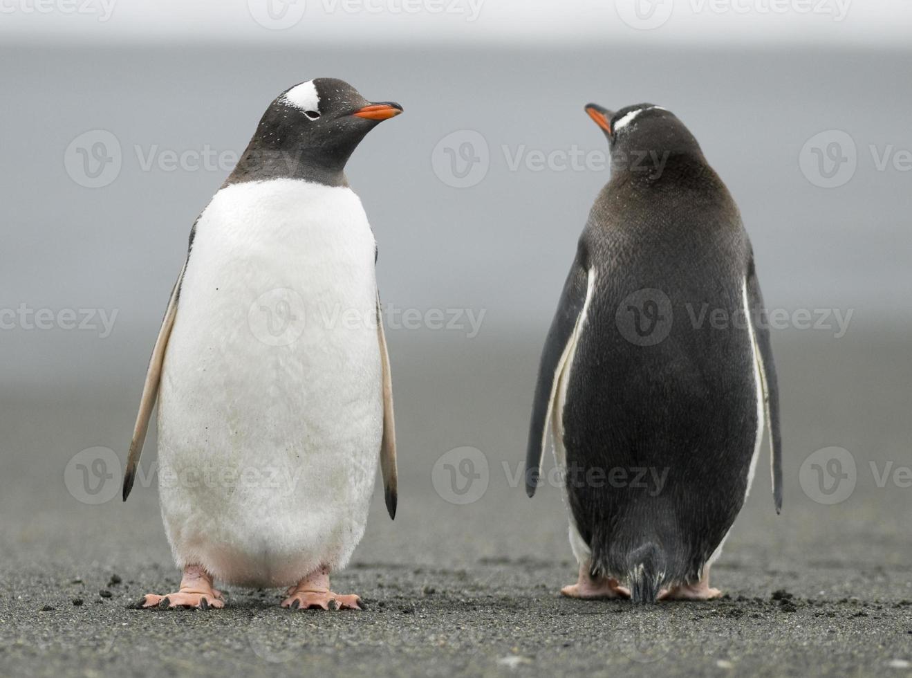 pingviner som tittar i motsatta riktningar foto