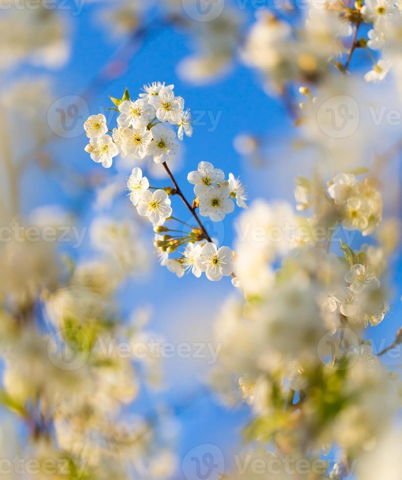vackert blommande körsbärsträd foto
