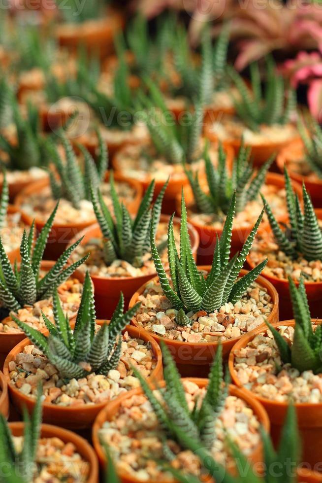 kaktus i krukor i trädgården. foto