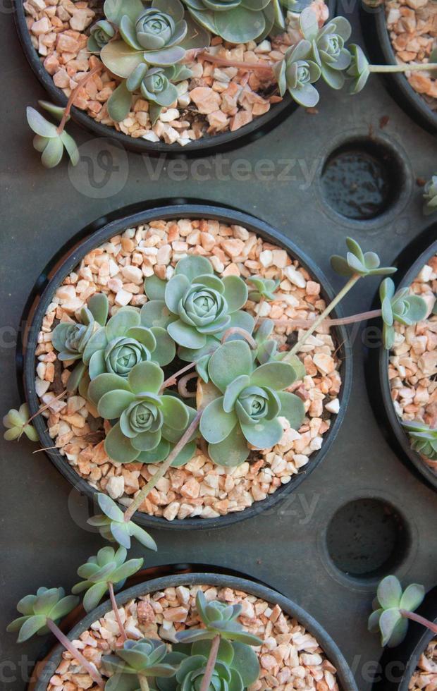 kaktus foto