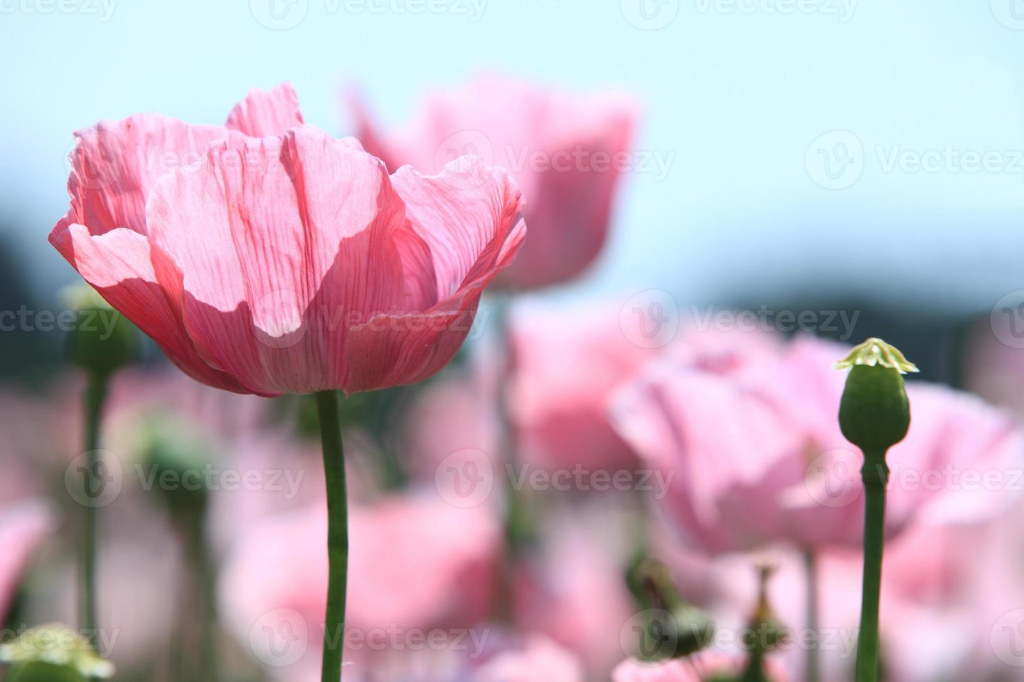 Mohnblüte foto
