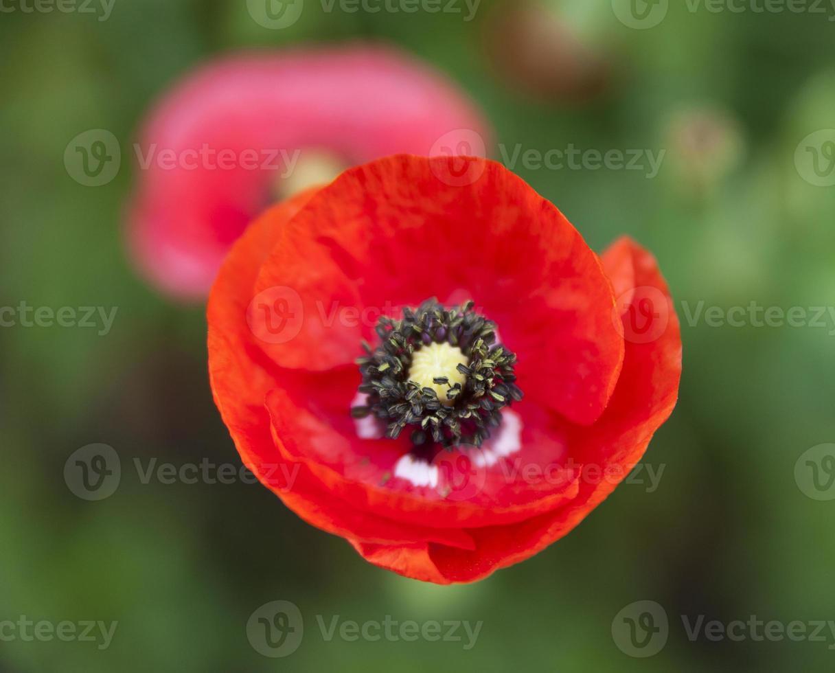blomma av vallmo foto