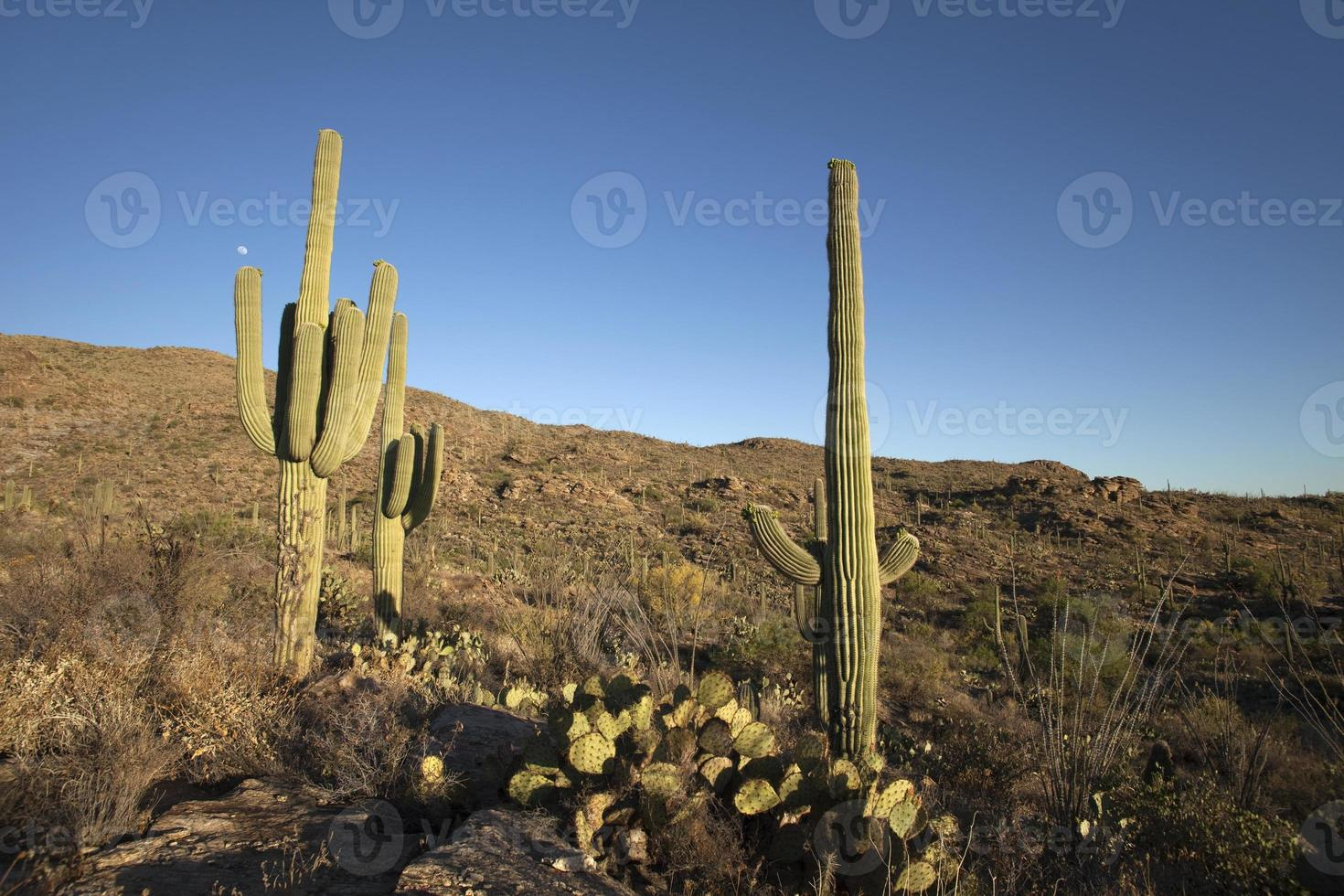 måne över sonoran öken kaktus i saguaro nationalpark foto