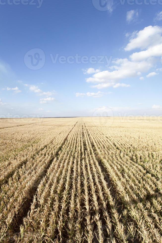 sommarlandskap (majsfält) foto