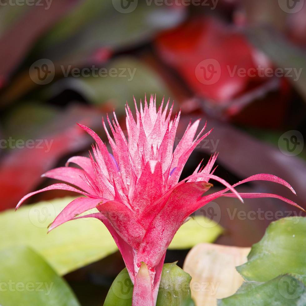 närbild av aechmea ramosa (silver vas bromeliad), ananas flo foto