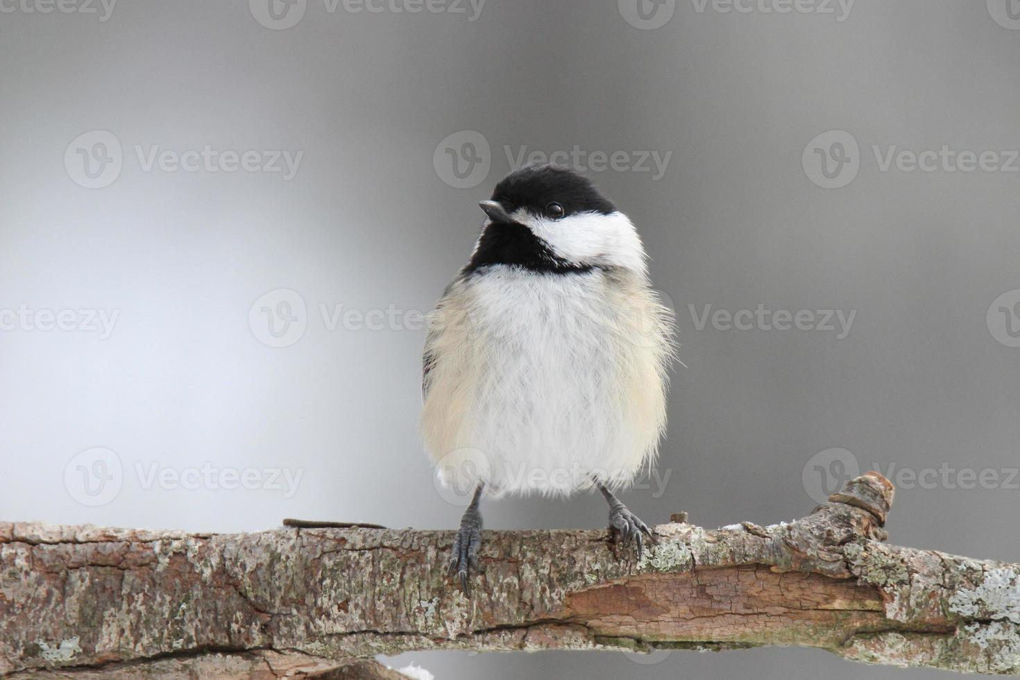 fluffig vinter chickadee foto