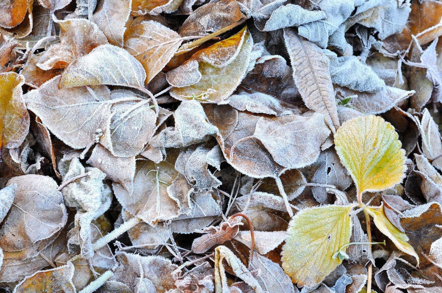 blad på vintern foto