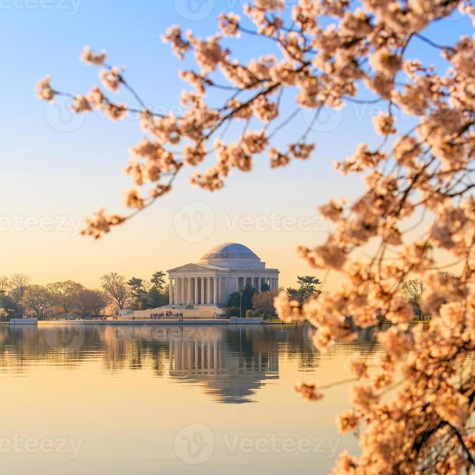 jefferson memorial under cherry blossom festivalen foto