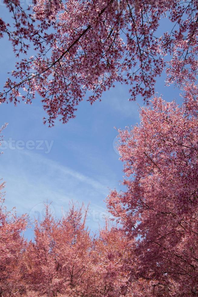 körsbärsblommaträd foto