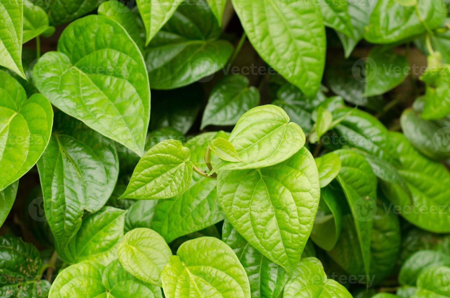 vackra färska betelblad (piper betle) foto