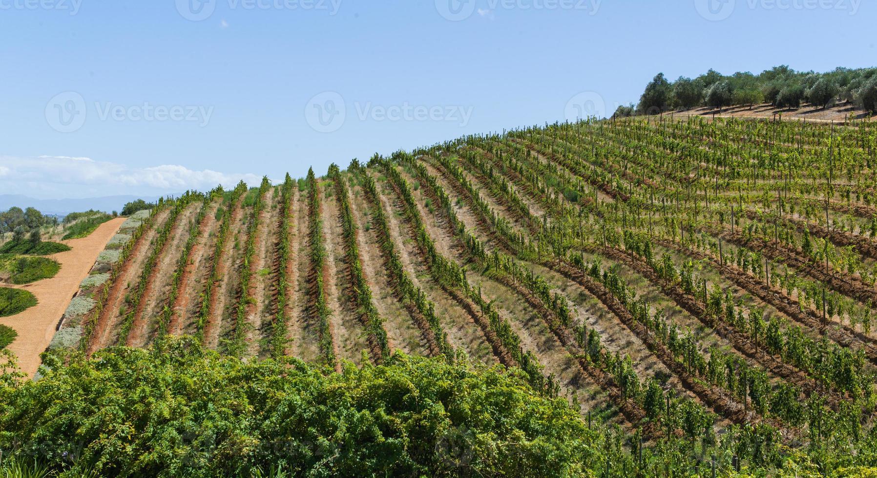 druvodrankor i uddstaden, Sydafrika foto