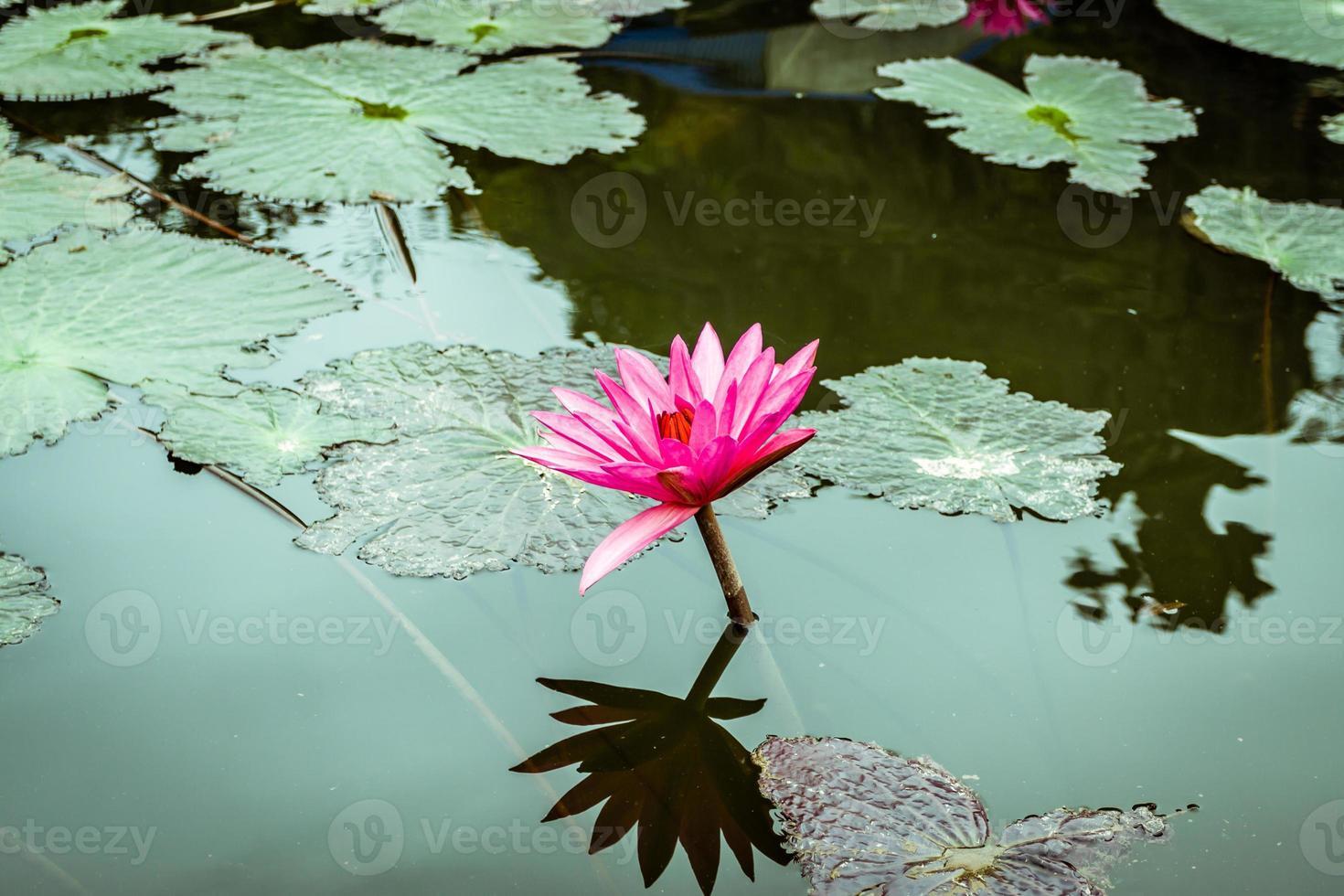 vattenlilja blommor foto