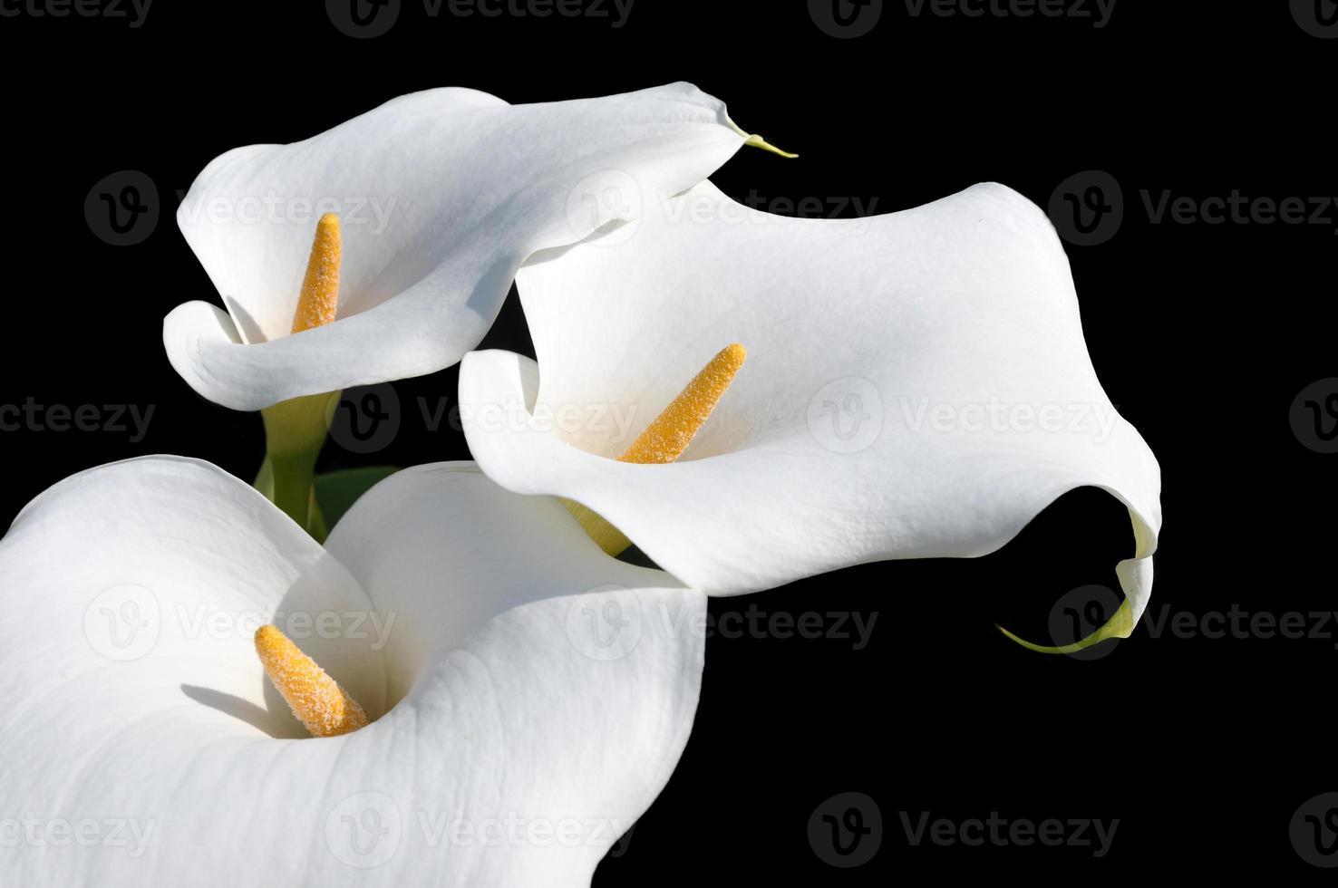 arum lilly eller calla foto