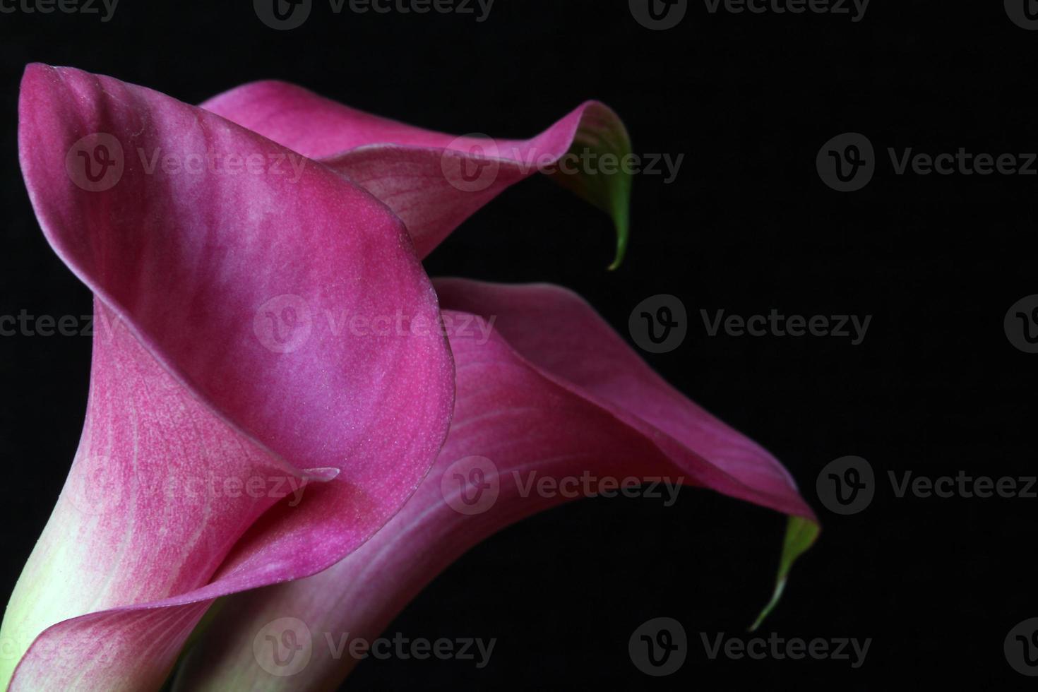 tre calla liljor på svart foto