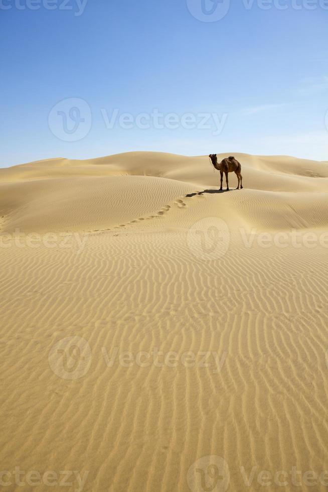 kamel i öknen. foto