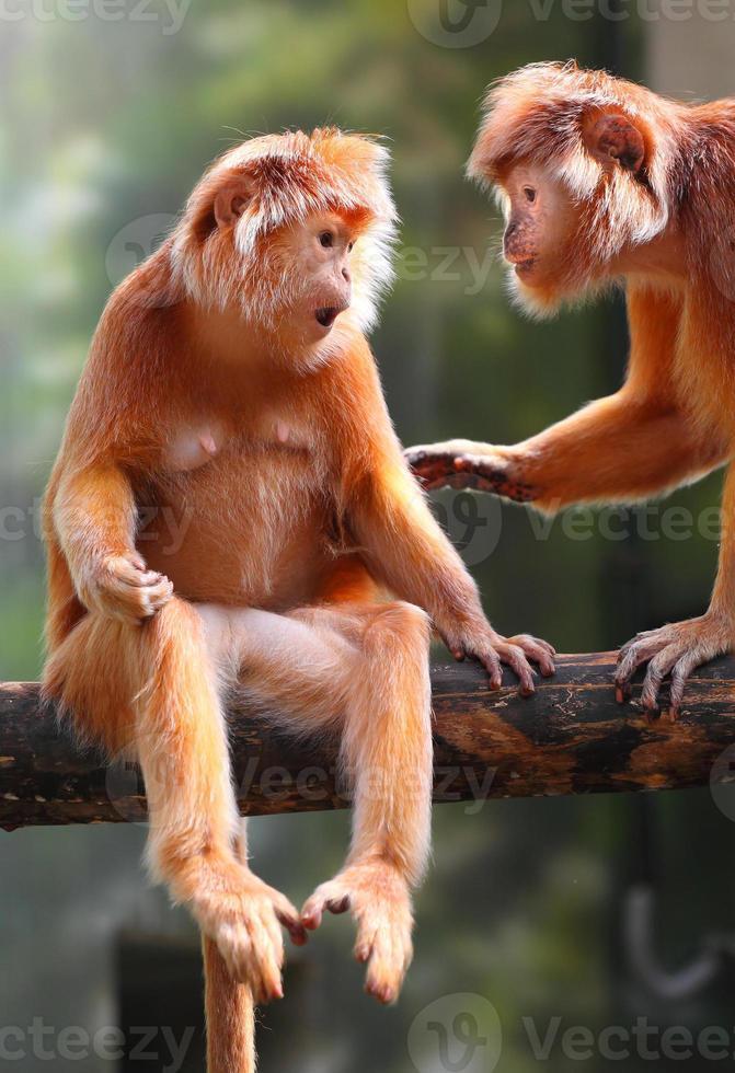 två langurs diskuterar. foto
