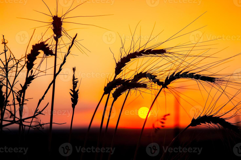 majsfält solnedgång foto