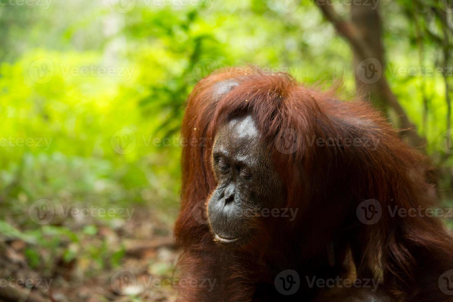 kvinnlig orangutang. foto