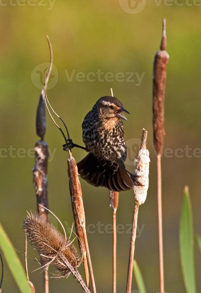 kvinnlig rödvingad svartfågel som gör uppdelningarna foto